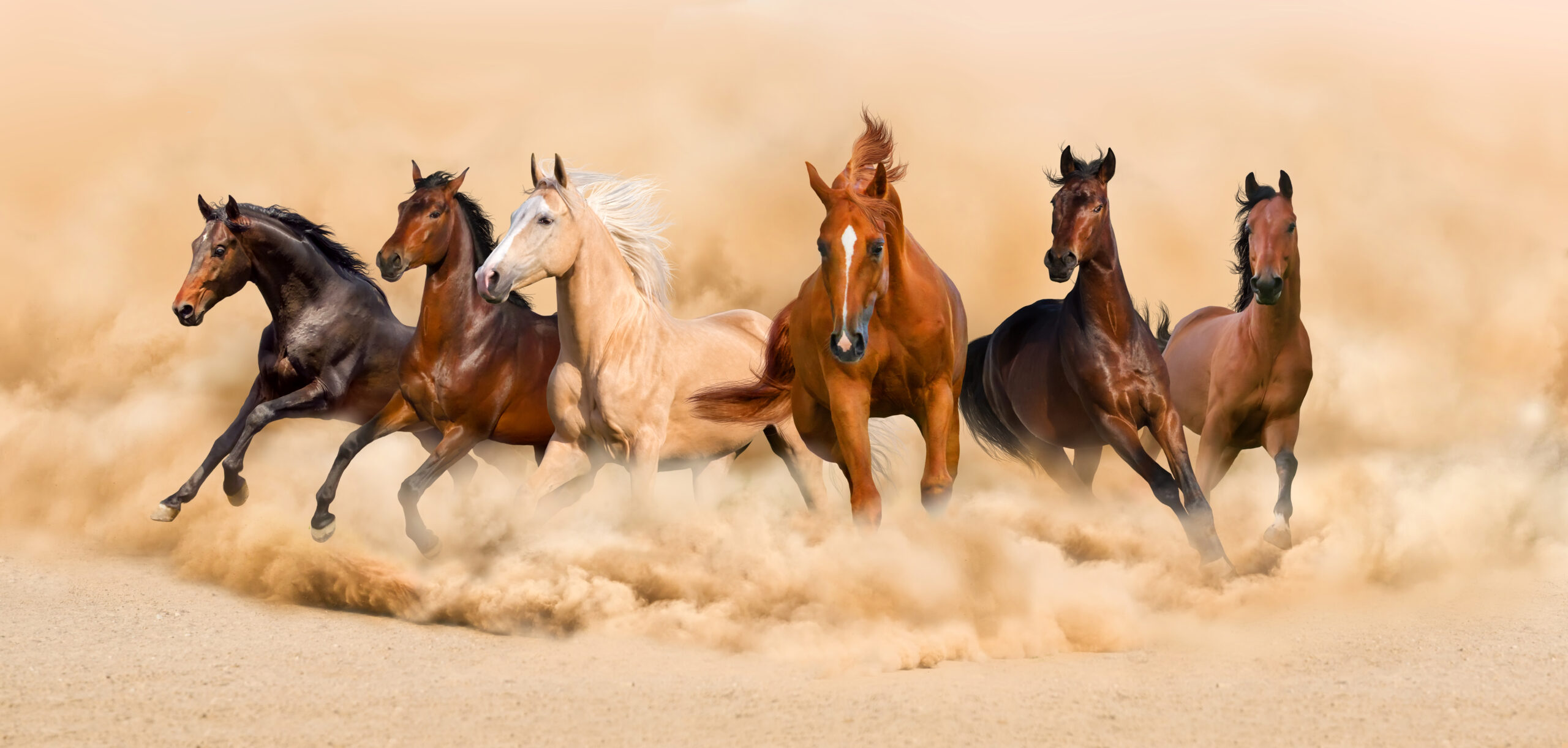 Today as we take a brief look into the history of one of the most beloved animals in Arab culture – the Arabian horse! And that ain't no hay!