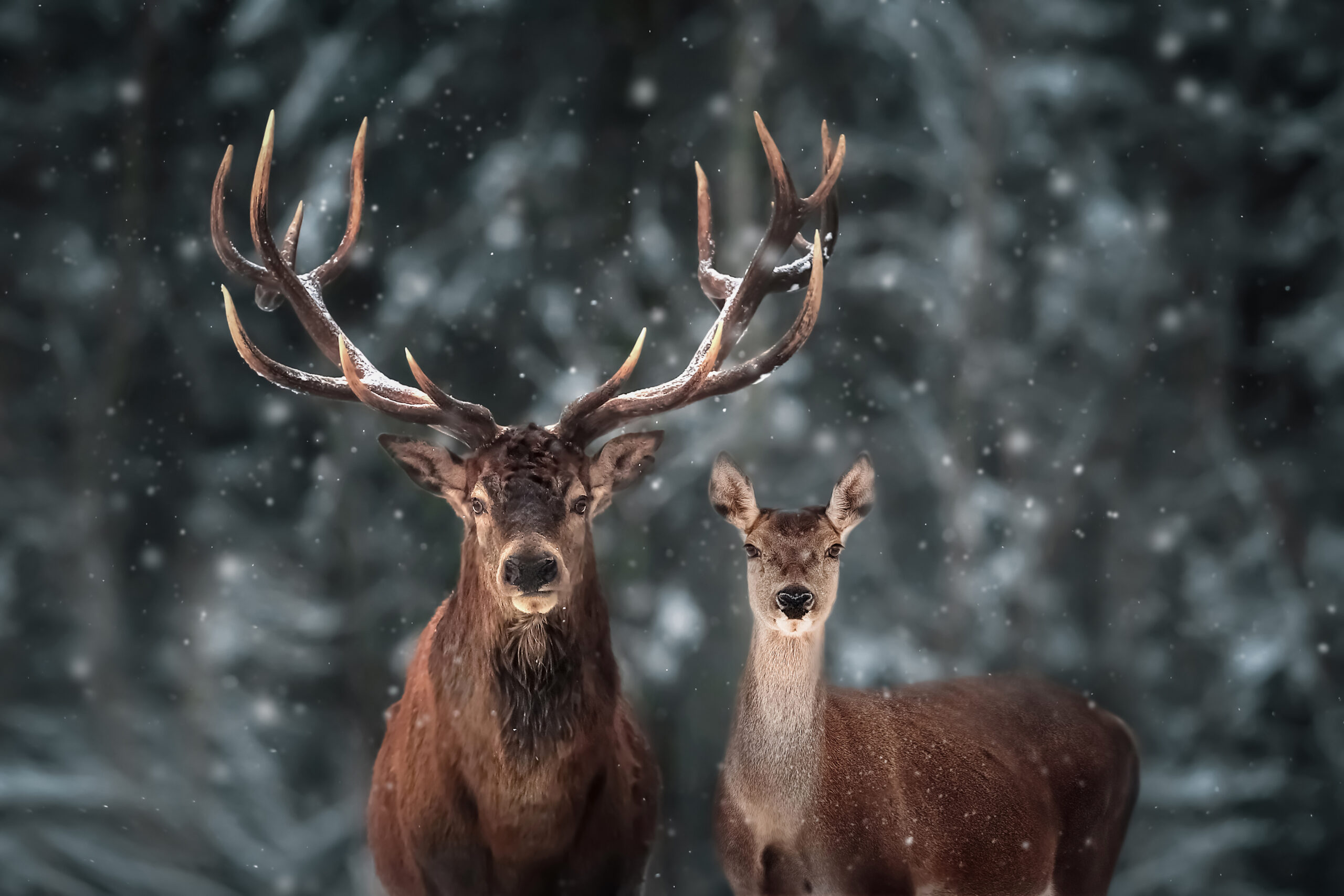 Find out about the two different species of deer that you can find in the Middle East in Kaleela's look at the Middle East's answer to Bambi and Rudolph.